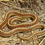 Western Terrestrial Garter Snakes (Thamnophis elegans terrestris)