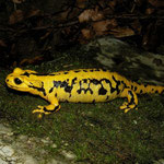 Vuursalamander (Salamandra salamandra fastuosa) drachtig vrouwtje