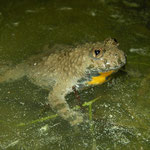 Geelbuikvuurpad (Bombina variegata)