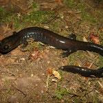 Del Norte Salamander (Plethodon elongatus)