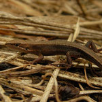 Japanese Grass Lizard (Takydromus tachydromoides)