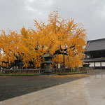 Ancient Ginko Tree at the Nishi-Honganji Temple Square. © Laura Tiemann