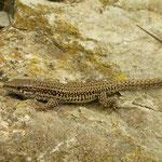 Catalonische muurhagedis (Podarcis liolepis)