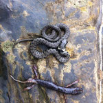 Grass Snake (Natrix natrix) and regurgitated Cave Salamander (Speleomantes strinatii)