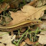 Meadow Lizard (Darevskia praticola pontica)