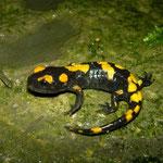Fire Salamander (Salamandra salamandra gigliolii) juvenile