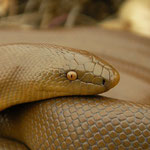 Rubber Boa (Charina bottae) close-up