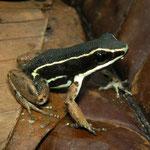 pale-striped Amazon poison frog (Ameerega hahneli)