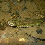 Vinpootsalamander (Lissotriton helveticus) mannetje