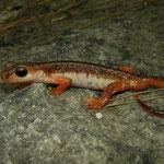 Bille's Salamander (Lyciasalamandra billae) male