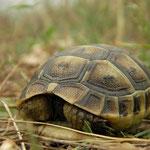 Moors landschildpad (Testudo graeca)