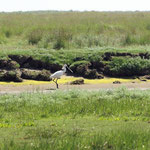 Eurasian Spoonbill (Platalea leucorodia) © Laura Tiemann