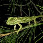 Mediterranean Chameleon (Chamaeleo chamaeleon) juvenile