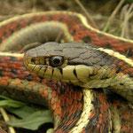 Western Terrestrial Garter Snake (Thamnophis elegans terrestris)