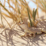 Mojave Fringe-toed Lizard (Uma scoparia)
