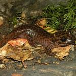 California Giant Salamander (Dicamptodon ensatus)
