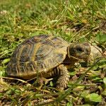 Hermann's Tortoise (Testudo hermanni) juvenile
