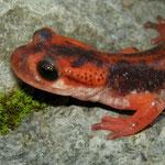Fazilae's Salamander (Lyciasalamandra fazilae)