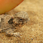 Coastal Horned Lizard (Phrynosoma blainvillii) close-up