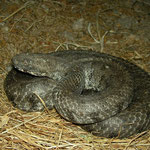 Huge Blunt-nosed Viper (Macrovipera lebetina schweizeri)