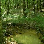 Prachtig hellingbos, habitat van o.a. Italiaanse springkikker.