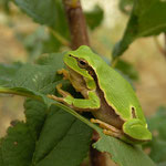 This Eastern Tree Frog (Hyla orientalis) was discovered because it was calling from almost 2 meters up a bush.
