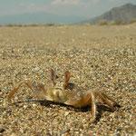 Spookkrabbetjes (Ocypode Albicans) rennen heen en weer langs de vloedlijn.