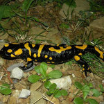 Fire Salamander (Salamandra salamandra werneri), Peloponnese, Greece, October 2012