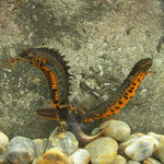 Danube Crested Newts (Triturus dobrogicus) showing their bellies.