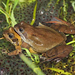 Grass Frog (Rana temporaria) couple in amplexus.