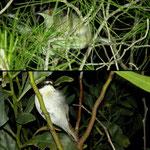 Sardinian Warbler (Sylvia melanocephala) and European Pied Flycatcher (Ficedula hypoleuca).