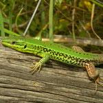 Sicilian Wall Lizard (Podarcis waglerianus)