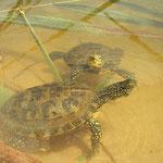 Europese moerasschildpadden (Emys orbicularis)