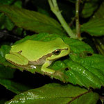 Italian Tree Frog (Hyla intermedia) from introgression zone with H. arborea.
