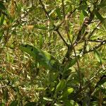 Reuzensmaragdhagedis (Lacerta trilineata)