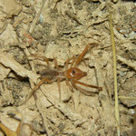 Camel Spider (Galeodes spec.) male