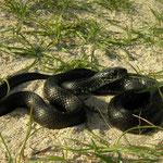 Grass Snake (Natrix natrix) melanistic individual