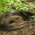 Aesculapian Snake (Zamenis longissimus)