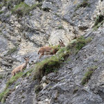 Alpine Ibexes (Capra ibex) © Laura Tiemann