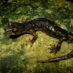 Italian Cave Salamander (Speleomantes italicus) dark individual