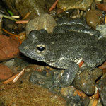 Foothill Yellow-legged Frog (Rana boylii)