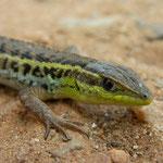 Slangenooghagedis (Ophisops elegans macrodactylus)