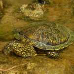 European Pond Terrapin (Emys orbicularis)