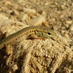 Slangenooghagedis (Ophisops elegans)