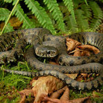 Grass Snake (Natrix natrix helvetica)