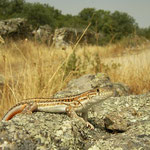 Spiny-footed Lizard (Acanthodactylus erythrurus) in habitat