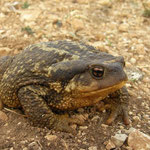 Gewone pad (Bufo bufo spinosus) vrouwtje