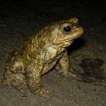 Gewone pad (Bufo bufo) mannetje op de uitkijk voor een vrouwtje.