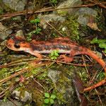 Fazilae's landsalamander (Lyciasalamandra fazilae)