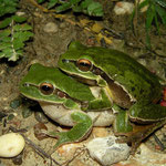 Lemon-yellow Tree Frogs (Hyla savignyi) in amplexus